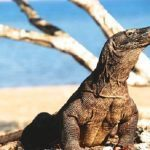 Hal – Hal yang Harus Diperhatikan Jika Berkunjung ke Pulau Komodo
